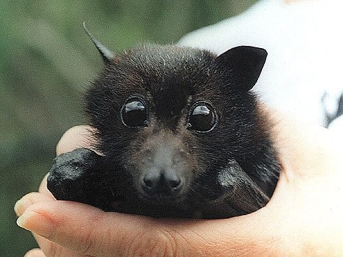 f8f861d0b36ad1ff89108c61c635098a--fantastic-mr-fox-baby-bats