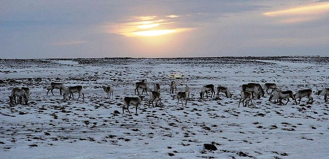 Reindeers-in-the-Icelandic-highland