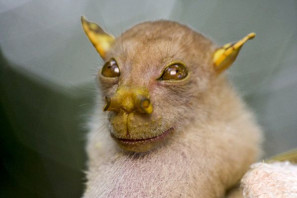 papua-new-guinea-new-species-bat_27185_600x450